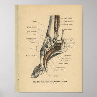 Vintage 1888 German Anatomy Print Ankle Foot