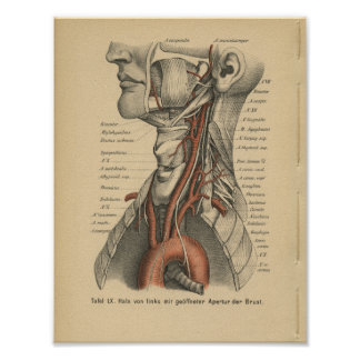 Vintage 1888 German Anatomy Print Aortic Arch