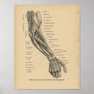 Vintage 1888 German Anatomy Print Arm Hand