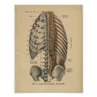 Vintage 1888 German Anatomy Print Back Muscles