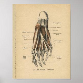 Vintage 1888 German Anatomy Print Foot Toes