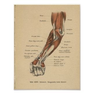 Vintage 1888 German Anatomy Print Forearm