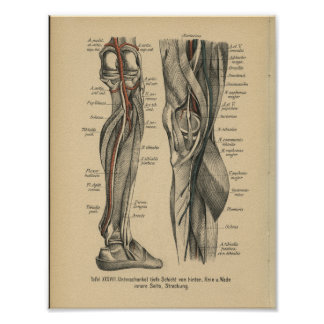 Vintage 1888 German Anatomy Print Leg Knee