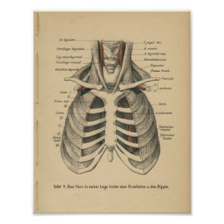 Vintage 1888 German Anatomy Print Rib Cage