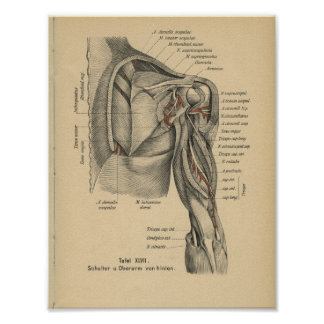 Vintage 1888 German Anatomy Print Shoulder Arm