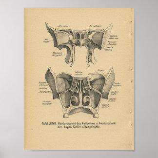 Vintage 1888 German Anatomy Print Sinuses