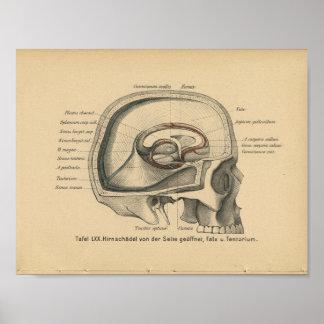Vintage 1888 German Anatomy Print Skull