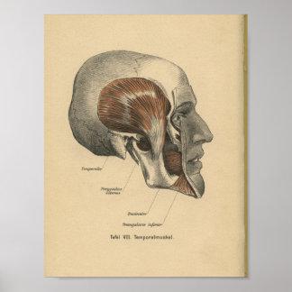 Vintage 1888 German Anatomy Print Skull Muscles