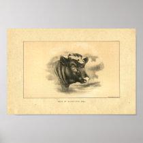 Vintage 1888 Shorthorn Bull Print