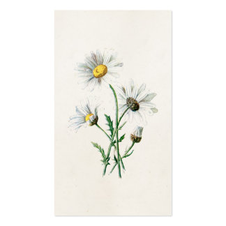 Vintage 1902 Daisies Old Wild Flower Illustration Double-Sided Standard Business Cards (Pack Of 100)