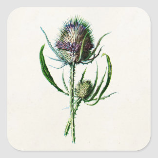 Vintage 1902 Old Scottish Thistle Wild Flower Square Sticker