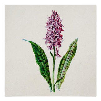 Vintage 1902 Spotted Orchid Wild Flower Orchids Print