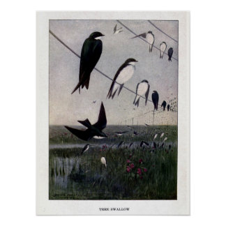 Vintage 1908 birds illustration tree swallow posters