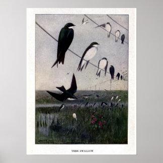 Vintage 1908 birds illustration: tree swallow poster