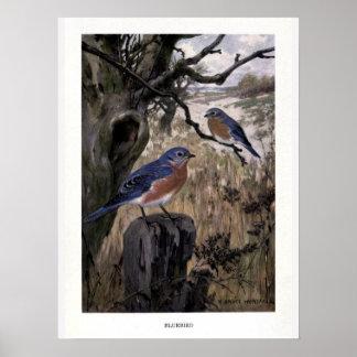Vintage 1910s birds illustration: bluebirds poster