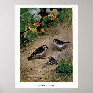 Vintage 1914 birds illustration: chipping sparrow poster