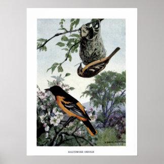 Vintage 1915 birds illustration: baltimore oriole poster