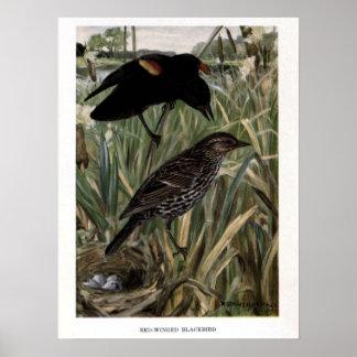Vintage 1915 birds illustration:  blackbird poster
