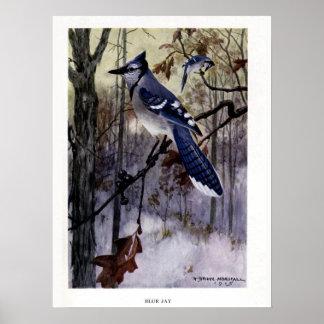 Vintage 1915 birds illustration: Blue Jay Poster