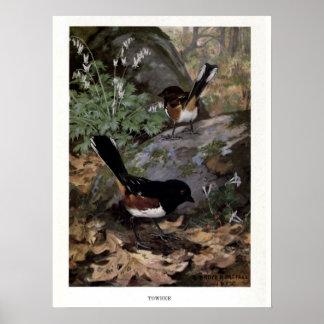Vintage 1915 birds illustration: towhee poster