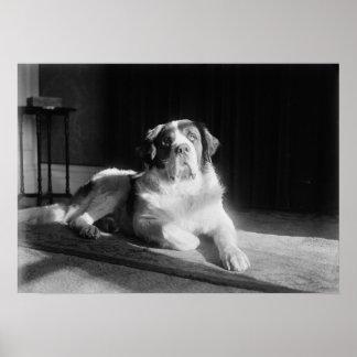Vintage 1917 del perro de St Bernard Póster