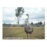 Vintage 1977 Ostrich Safari Postcard
