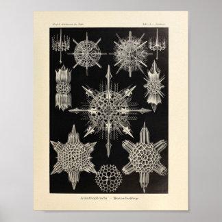 Vintage Acanthophracta Color Ernst Haeckel Print