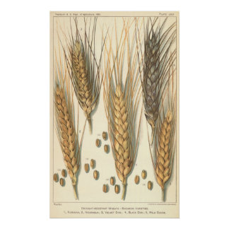Vintage Agriculture, Drought Resistant Wheat Plant Posters