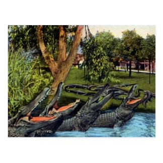 Vintage alligator quartet Bayano River, Panama Post Cards