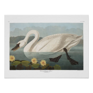 Vintage American Swan Audubon Art Poster