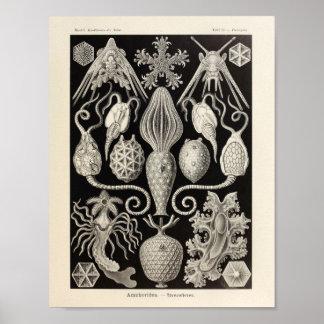 Vintage Amphoridea Ernst Haeckel Art Print