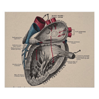 Vintage Anatomical Heart Diagram Poster