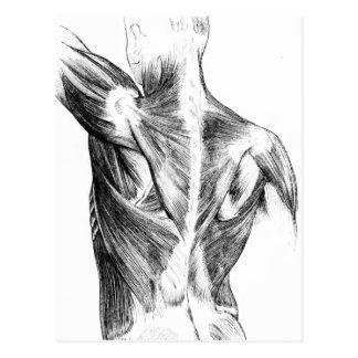 Vintage Anatomy | Back Muscles  (circa 1852) | B/W Postcard