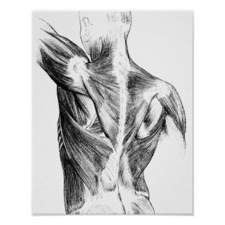 Vintage Anatomy | Back Muscles  (circa 1852) | B/W Poster