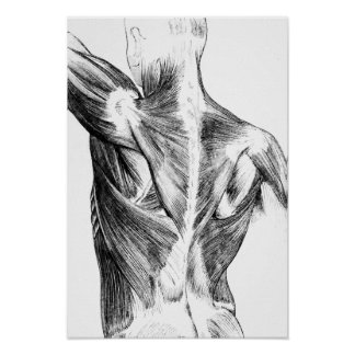 Vintage Anatomy   Back Muscles  (circa 1852)   B/W Poster