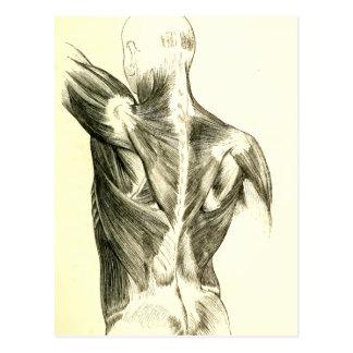 Vintage Anatomy | Back Muscles (circa 1852) Postcard