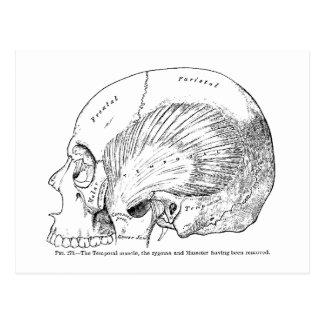 Vintage Anatomy Drawing Human Temporal Muscle Postcard