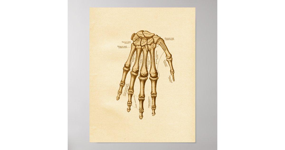 Vintage Anatomy Illustration Hand Wrist Bones Poster   Zazzle.com