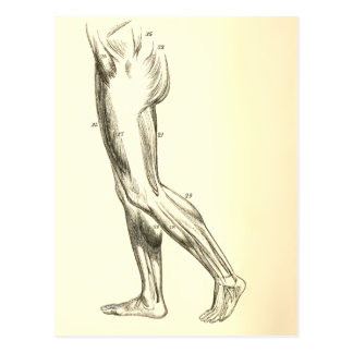 Vintage Anatomy | Leg Muscles II (ca. 1852) Postcard