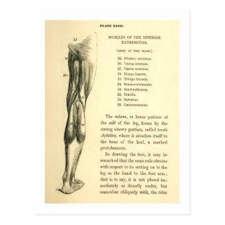 Vintage Anatomy | Leg Muscles Postcard