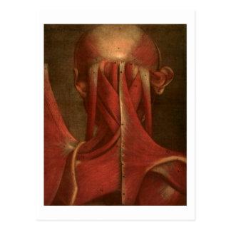 Vintage Anatomy | Neck Postcard