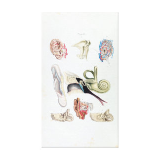 Vintage Anatomy of the Human Ear Canvas Print