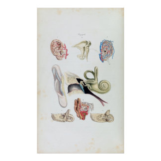 Vintage Anatomy of the Human Ear Poster
