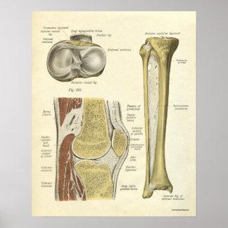 Vintage Anatomy Print Bones Knee