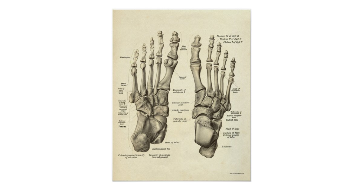 Vintage Anatomy Print Bones Of Foot Zazzle