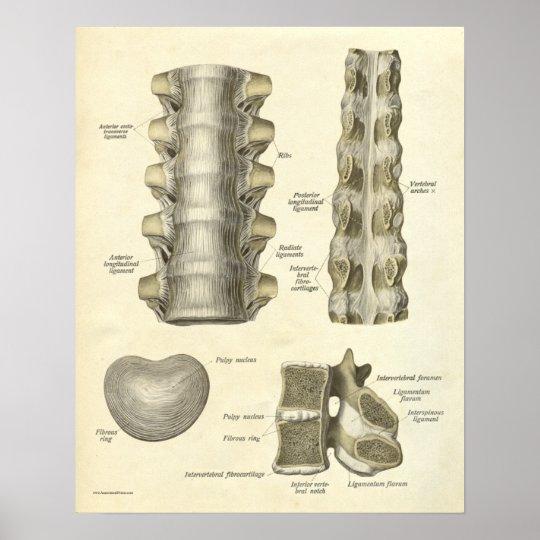 Vintage Anatomy Print Bones Thoracic Spine
