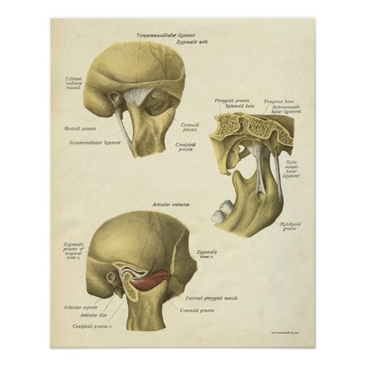 Vintage Anatomy Print Bones Tmj Joint
