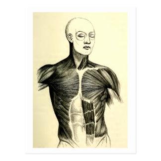 Vintage Anatomy | Torso  (circa 1852) Postcard