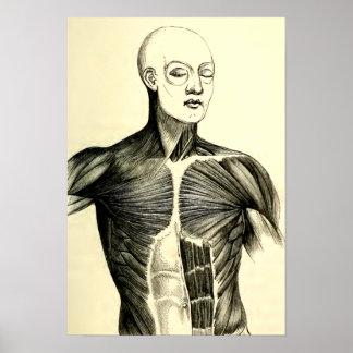 Vintage Anatomy   Torso  (circa 1852) Poster