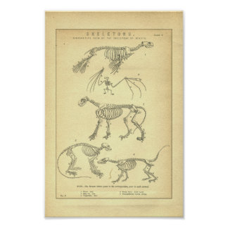 Vintage Animal Skeletons Print